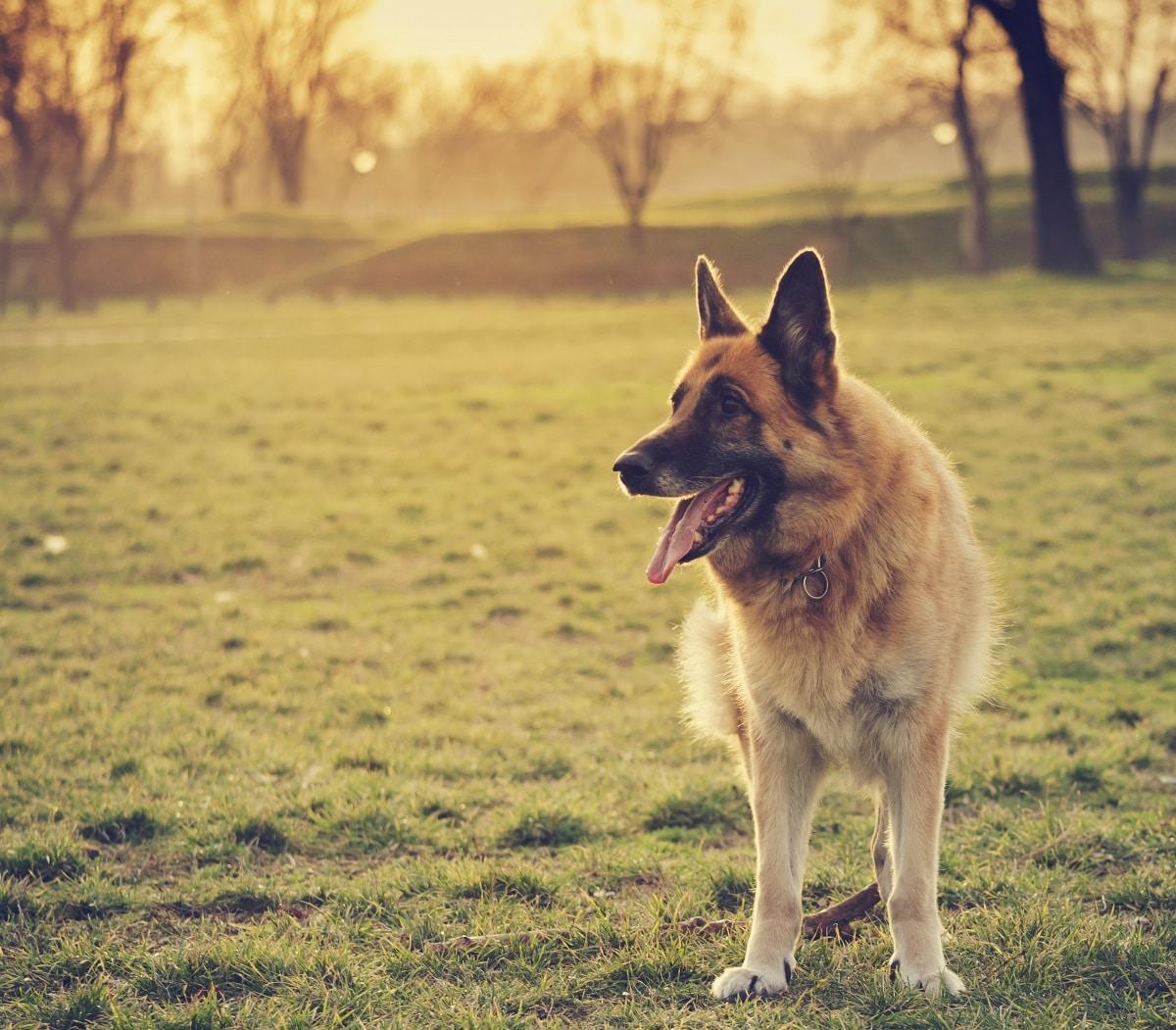 cão da raça pastor alemão