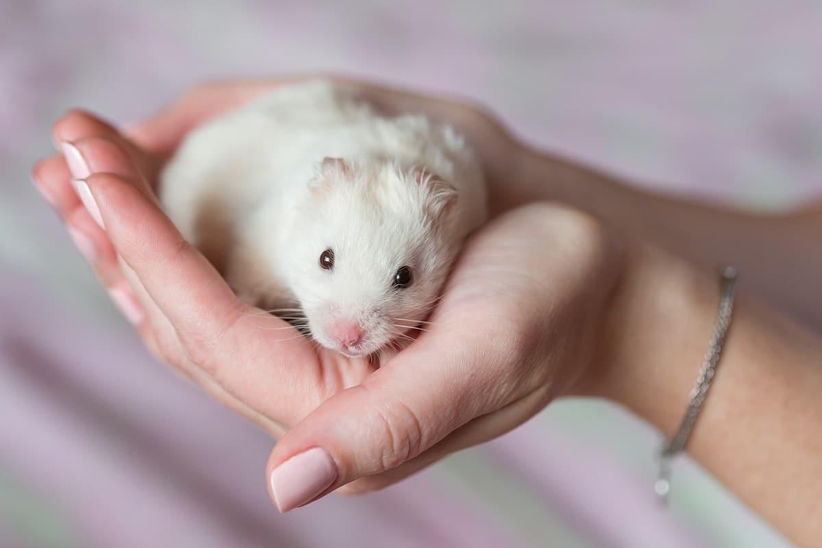 hamster na mão com frio