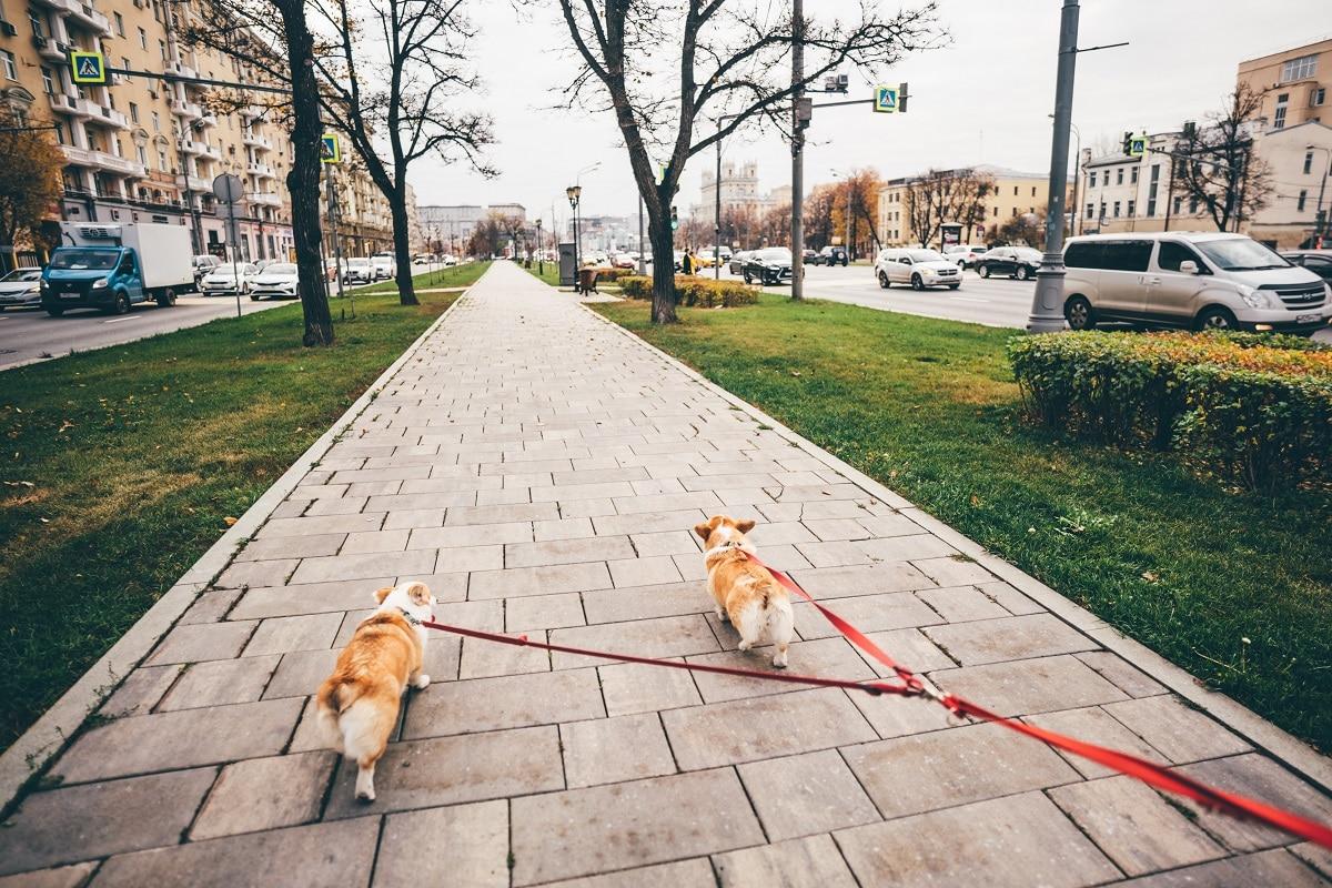 Dois cães a passeio