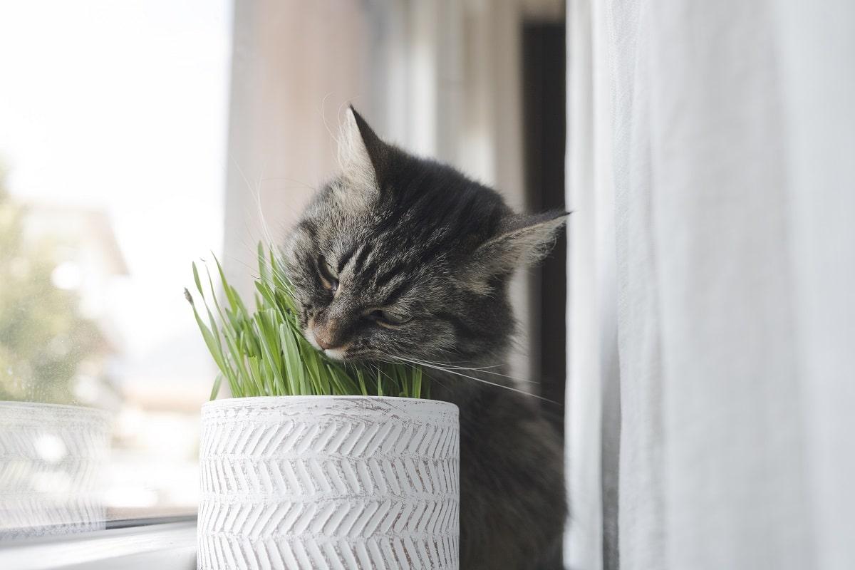 gato comendo catnip